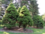 <em> Picea glauca</em> 'Conica' Whole Plant/Habit by Julia Fitzpatrick-Cooper