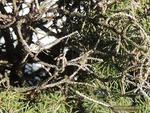 <em> Picea glauca</em> 'Conica' Branch/Twig by Julia Fitzpatrick-Cooper