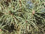 <em> Picea glauca</em> 'Conica'Leaf/Leaf Attachment