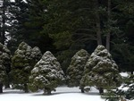<em> Picea glauca</em> 'Conica' Winter Interest by Julia Fitzpatrick-Cooper