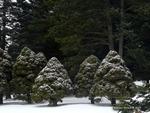 <em> Picea glauca</em> 'Conica'Winter Interest