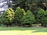 <em> Picea glauca</em> 'Conica' Special ID Features by Julia Fitzpatrick-Cooper
