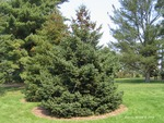 <em> Picea glauca</em> Whole Plant/Habit by Julia Fitzpatrick-Cooper