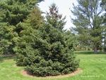 <em> Picea glauca</em> Whole Plant/Habit by Julia Fitzpatrick-Cooper