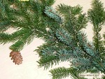 <em> Picea glauca</em> Branch/Twig by Julia Fitzpatrick-Cooper