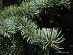 <em> Picea glauca</em> Bud