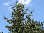 <em> Picea glauca</em> Cone by Julia Fitzpatrick-Cooper