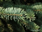<em> Picea glauca</em> Leaf Number/Attachment by Julia Fitzpatrick-Cooper