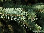 <em> Picea glauca</em> Leaf Number/Attachment