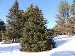 <em> Picea glauca</em> Winter Interest by Julia Fitzpatrick-Cooper