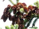 <em> Picea glauca</em> Special ID Features