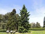 <em> Picea omorika</em> Whole Plant/Habit by Julia Fitzpatrick-Cooper