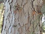 <em> Picea omorika</em> Bark by Julia Fitzpatrick-Cooper