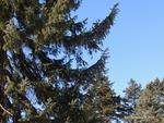 <em> Picea omorika</em> Branch/Twig