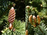 <em> Picea omorika</em> Flower by Julia Fitzpatrick-Cooper