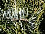 <em> Picea omorika</em> Leaf/Leaf Attachment