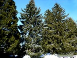<em> Picea omorika</em> Winter Interest