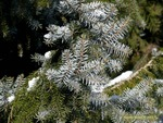 <em> Picea omorika</em> Special ID Feature