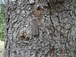<em>Picea pungens</em> Bark