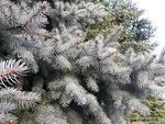 <em>Picea pungens</em> Branch/Twig