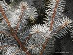 <em>Picea pungens</em> Leaf/Leaf Attachment