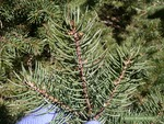 <em>Picea pungens</em> Leaf/Leaf Attachment by Julia Fitzpatrick-Cooper