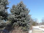 <em>Picea pungens</em> Winter Interest