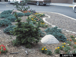 <em>Pinus aristata</em> Whole Plant/Habit by Julia Fitzpatrick-Cooper