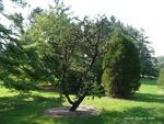 <em>Pinus aristata</em> Whole Plant/Habit