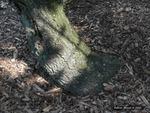<em>Pinus aristata</em> Bark