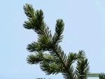 <em>Pinus aristata</em> Branch/Twig