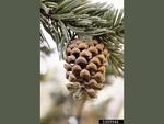 <em>Pinus aristata</em> Cone