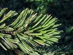 <em>Pinus aristata</em> Leaf Number/Attachment