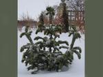 <em>Pinus aristata</em> Winter Interest