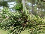 <em>Pinus aristata</em> Special ID Feature