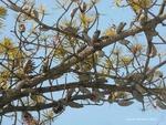 <em>Pinus banksiana </em> Branch/Twig by Julia Fitzpatrick-Cooper