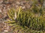 <em>Pinus banksiana </em> Bud