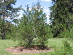 <em>Pinus bungeana</em> Whole Plant/Habit