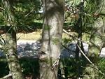 <em>Pinus bungeana</em> Bark by Julia Fitzpatrick-Cooper