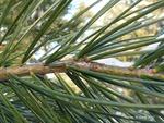 Pinus bungeana Branch/Twig