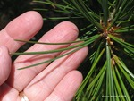 <em>Pinus bungeana</em> Leaf Number/Attachment