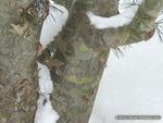 <em>Pinus bungeana</em> Winter Interest