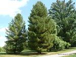 <em>Pinus cembra</em> Whole Plant/Habit by Julia Fitzpatrick-Cooper
