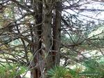 <em>Pinus cembra</em> Bark