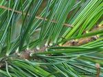 <em>Pinus cembra</em> Branch/Twig