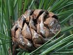 <em>Pinus cembra</em> Cone