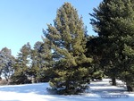 <em>Pinus cembra</em> Winter Interest