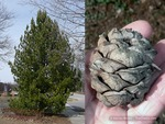 <em>Pinus cembra</em> Special Features