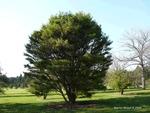 <em>Pinus densiflora</em> 'Umbraculifera' Whole Plant/Habit by Julia Fitzpatrick-Cooper