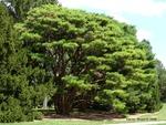 <em>Pinus densiflora</em> 'Umbraculifera' Whole Plant/Habit